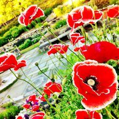 Corn Poppies. Botanical Gardens, Ithaca, NY.