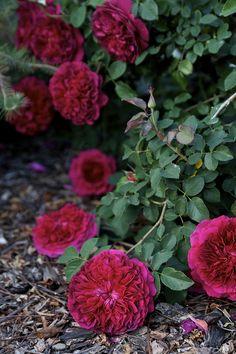William Shakespeare rose 2000 in April