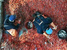 I love shrimp season!  Bless those fisherman! shrimp season