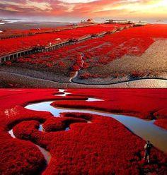 La playa roja de Panjin Este paisaje único en el mundo se encuentra en las marismas del delta del río Liao en Panjin (China). El color rojo sólo aparece en aquellas zonas cuyos suelos están compuestos de limos. La tonalidad roja se debe a una especie local de sargadilla marina. Esta planta empieza a brotar entre abril y mayo