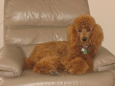 gorgeous red standard poodle~~this is my Penny girl~~