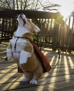 super corgi @Carly Gilbertson