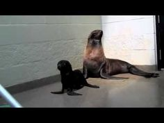 Newborn Fur Seal Pup at the New England Aquarium