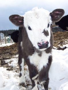 Look at this cute baby calf!