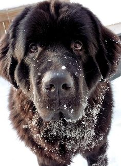 Another dream dog of mine, a newfoundland