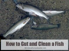 How to Gut and Clean a Fish - In case you've never done it before...