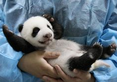 baby panda!! could anything be sweeter?