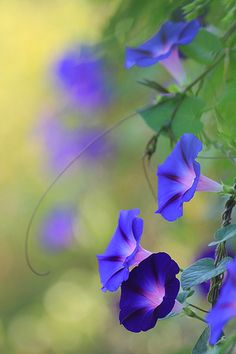 Blue Morning Glories ~