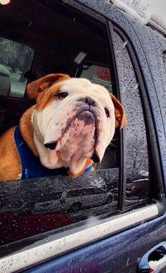 say hey! where you goin'.. #englishbulldog #pets #bulldogs