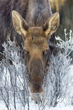 Moose, Alberta