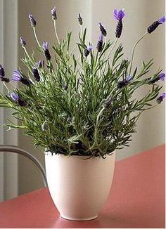 lavender is a fragrant plant, which is helpful in masking the stench of dirty laundry in college dorm rooms... did you know that lavender helps keep pests like mice away? Also, studies show that it's soothing. (probably has something to do with the lack of mice!) Also-- gotta keep this guy in the sun!