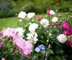 Make a long-term investment in your garden with peonies. These gorgeous sun lovers will bloom reliably for decades, getting bigger and better every year. The flowers are also delightfully fragrant, making them an ideal choice for fresh-cut bouquets. Although they vary slightly by variety, most peonies bloom in May and June, but even after they flower, their finely cut foliage provides interest in the flower border.