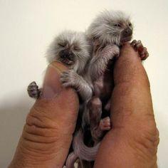 Cute Tiny Monkeys :)