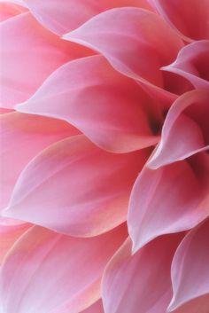 pink dahlia petal details...