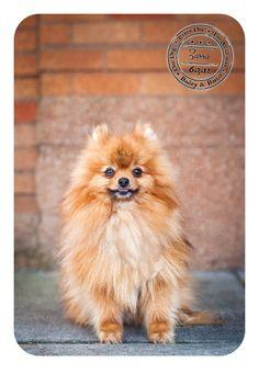 Zorro - June 3 - Pomeranian