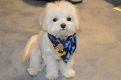 Maltese Puppy Cut | Today I took Preston to a new groomer (new for him, old for me) and ...