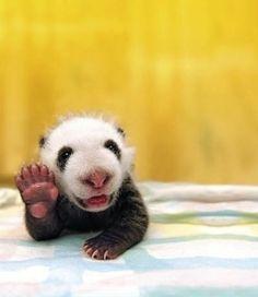 o hai, I <3 it! Baby Panda :D