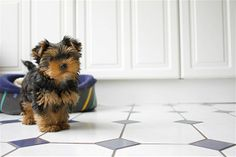 Tiny, cute and portable, Yorkshire terriers -- usually called Yorkies -- are charming, adaptable dogs with a fine, silky coat. Models Miranda Kerr and Gisele Bundchen and actress Natalie Portman have all owned Yorkies. Yorkies are easily carried onto airplanes and are friendly.