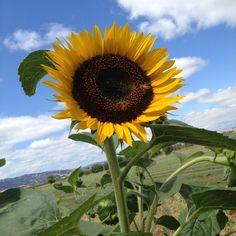 Sunflower. 5FingerPhoto.com