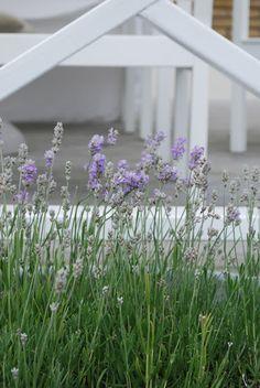 Lavendel kring uteplatsen.