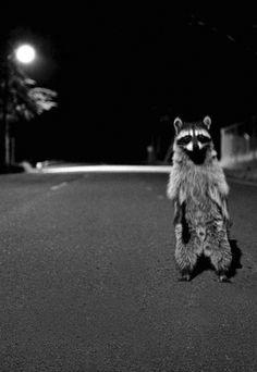 hey, critter, animals wild, stuff, night creatures, bandit, raccoon, photo, da cat