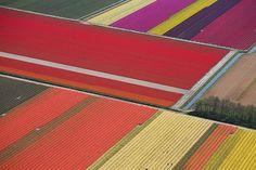 tulip field, farms, colors, holland, tulips, flower fields, blog, netherlands, flower farm