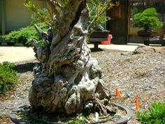 G: El oldest Bonsai en América. 150 Años.  Source: kevvo23.wordpress.com