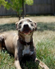 EVERYONE LOOK AT THIS SMILE IMMEDIATELY.    #dog #pitbull #pit_bull
