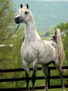 A dapple gray, Arabian Mare.