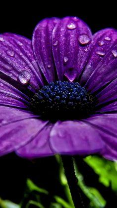 flower, drops, dark, petals