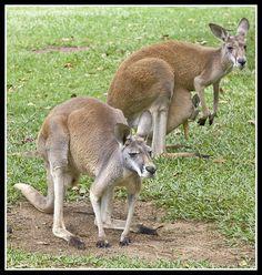 I want one!!!! :) Austrailia. Red Kangaroos