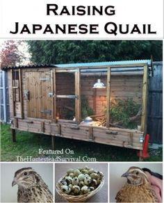 raising quail on pinterest quail coop raising ducks and