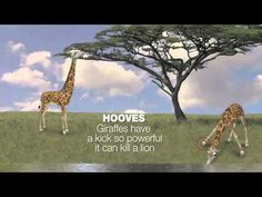 Daily Video - Get to know the giraffe
