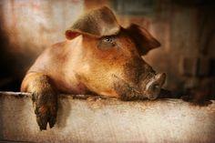 aww. lovesick piggy