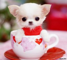 """ah this is a tiny """"teacup"""" chihuahua!"""
