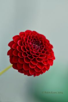 ~~Little Red | Little Matthew Dahlia, dark red pompon, petite and powerful | by Robin Evans~~