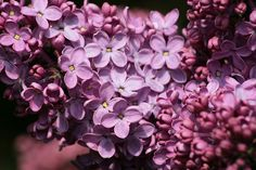 Lilacs #lilacs #flora #flowers #pink #purple #color #nature #floral #spring #summer