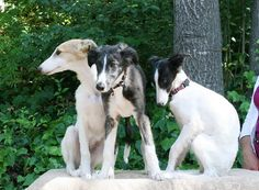 silken windhound puppies
