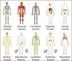 the human body, health science education, bodi system, essential oils, cuerpo humano, human bodi, young live, essenti oil, health education