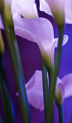 Lilies, one of my favorites | Geoff Penaluna