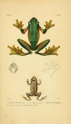 Erpétologie Générale, ou, Histoire Naturelle Complète des Reptiles'