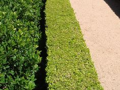 How to Plant a Boxwood Hedge | Garden Guides