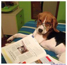 A Beagle is preparing for a school exam.