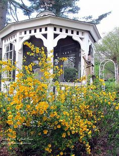 Try Kerria shrubs instead of Forsythia ~  beautiful yellow flowers in spring, does well in partial shade to full sun and just a little different! (Garden of Len & Barb Rosen)