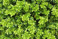 Little green leaves