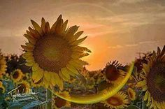Day or night.  Sunflowers really DO make ME Happy!!