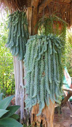 Amazing donkey tail succulents; Laguna garden