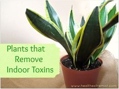 indoor plants that clean the air and remove toxins