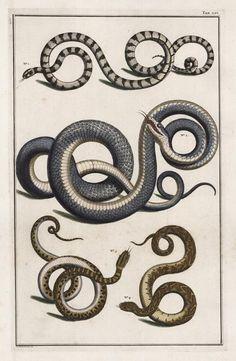 snakes, by Albertus Seba