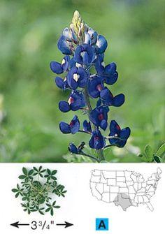 wildse farm, plant, yard, gardens, bluebonnet seeds, bluebonnet ohtexasmytexa, texas bluebonnets, texa bluebonnet, flower